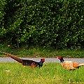 Nordrhein Westfalen i jej przepiekna natura...-Bazanty po prostu chodza po polach ,przy drogach ...:) #Bazanty