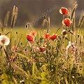 maki...:-) #fotoel #MakiPolne #KwiatyPolskie #łąki