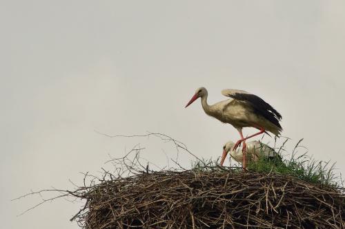 #ptaki #bociany #gniazdo