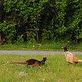walka bazantow ,z lewej bardzo agresywny a ten z prawe leniwy ale nie bojacy sie..:)) #bazanty #ptaki #przyroda