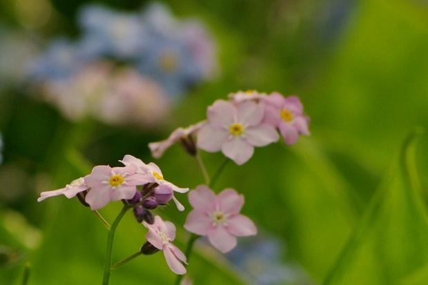 Pozdrawiam :) Lecę do pracy :) #kwiaty #niezapominajki