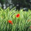 wiosenne kontrasty...i inspiracje... #wiosna #maki #zboza