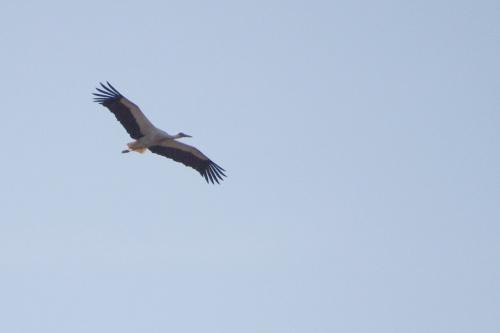 #ptaki #bocian