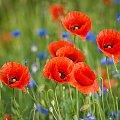 Makowo-chabrowo... #kwiaty #maki #chabry #natura #arietiss
