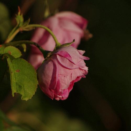 #kwiaty #róże