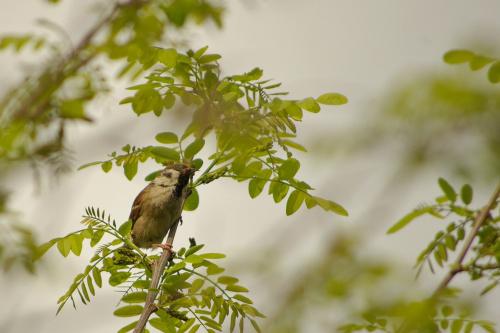czy mazurek to ptak wróblowaty? #ptaki #mazurek