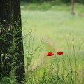 gdzieś przy drodze ... przez okno samochodu ... **** (ulub. lissa) **** #maki #PrzyDrodze #trawy #kwiaty