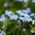 Niezapomniane... #kwiaty #niezapominajki #flora #natura #arietiss
