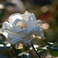 #fotoel #róże #kwiaty #lato