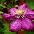 powojniki ... clematisy ... jak kto woli ... :)) #kwiaty #powojniki #pnącza #ogród