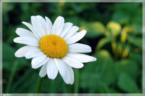 #margaretki #kwiaty #ogród