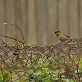 #ptaki #mazurek #ogrodzenie #siatka