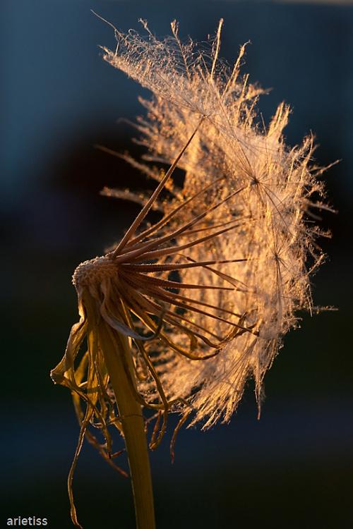 Latawce, ..., wiatr... #flora #dmuchawiec #arietiss