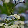 #kwiaty #maj #niezapominajki