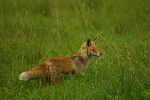 bliskie spotkania w drodze :) #zwierzęta #lis