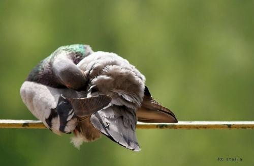 moje gołąbki ... jeszcze od czasu do czasu zaglądną do mnie ...:)) #ptaki #gołębie #balkon