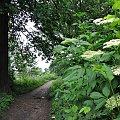 moje ścieżki #ścieżka #drzewa #CzarnyBez