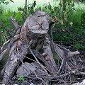 drzewa różne ... #drzewa #konary #wiatrołom #natura #przyroda #łąka #park #WPolu #NadWodą