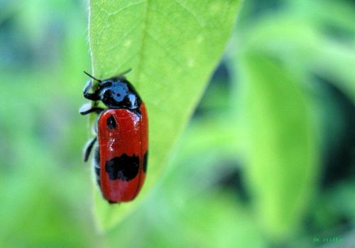 daje się dla samego dawania, a nie po to, by otrzymać coś w zamian ... (Richard Carlson) ------ wyjeżdżam na kilka dni w swoje ukochane strony ------ pozdrawiam Was wszystkich bardzo cieplutko ... :))) #chrząszcz #łąka #trawa #makro #lato