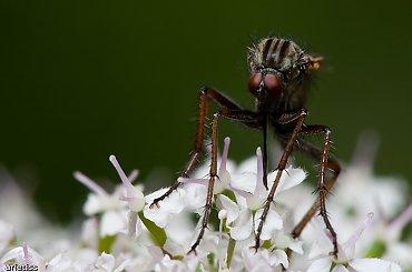 Obcy... #owady #mucha #natura #makro #arietiss