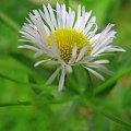 Delikatność to moje drugie imię :) #stokrotka #kwiaty #łąka
