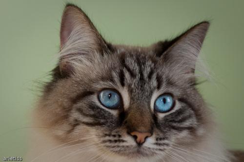 Lena... #zwierzęta #kot #arietiss