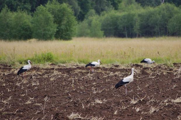 boćki mają się dobrze :) #pole #bociany #ptaki