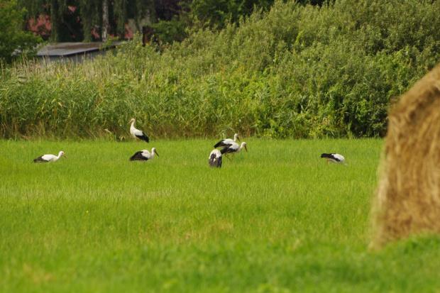 #ptaki #bociany #łąka