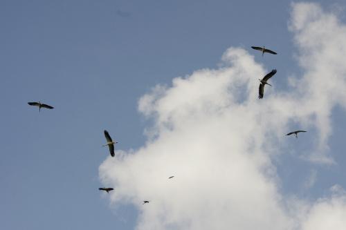 wielkie manewry -----> #ptaki #bociany