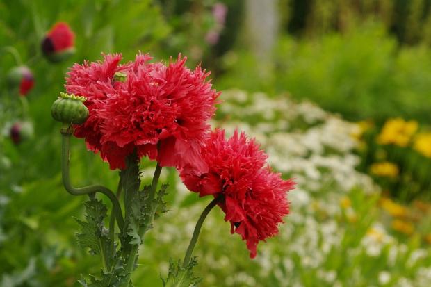 #lato #ogród #kwiaty