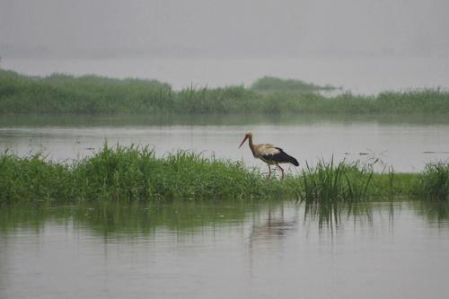nad Odrą #bocian #ptaki #Odra #rzeka #mgła