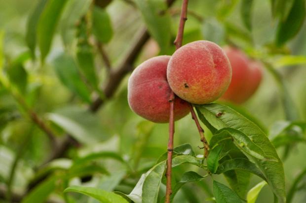#owoce #brzoskwinie