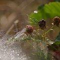 #jeżyny #rosa #pajęczyny #natura