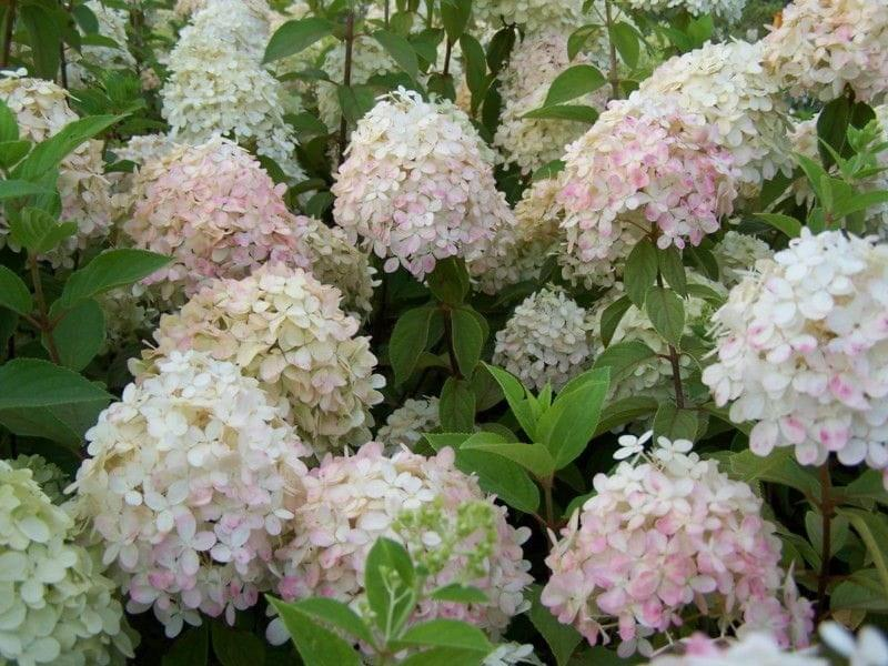 hortensja bukietowa phantom hydrangea paniculata c5. Black Bedroom Furniture Sets. Home Design Ideas