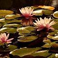 #fotoel #nenufary #jezioro #lato #KwiatyWodne