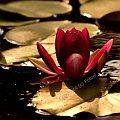 #fotoel #nenufary #lato #jezioro #KwiatyWodne
