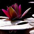 #nenufary #MagiczneMiejsca #KwiatyPolskie #fotoel