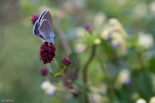 Motylek w pastelach... #owady #motyl #makro #natura #fauna #arietiss