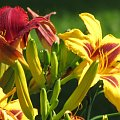 moje kwiatki #ogrod