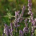 #wrzos #natura #przyroda #rośliny
