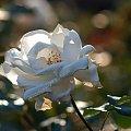 powiew jesieni.... #róża #KwiatyPolskie #fotoel
