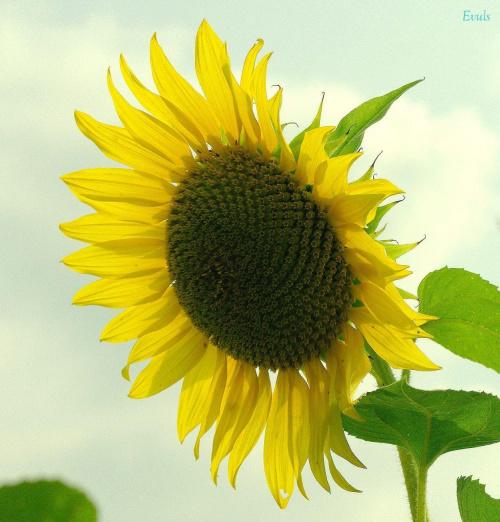 Uśmiechniętego dnia życzę :) #słonecznik
