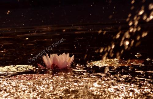 dla Basi ...:-) #nenufary #lato #fotoel #KwiatyPolskie