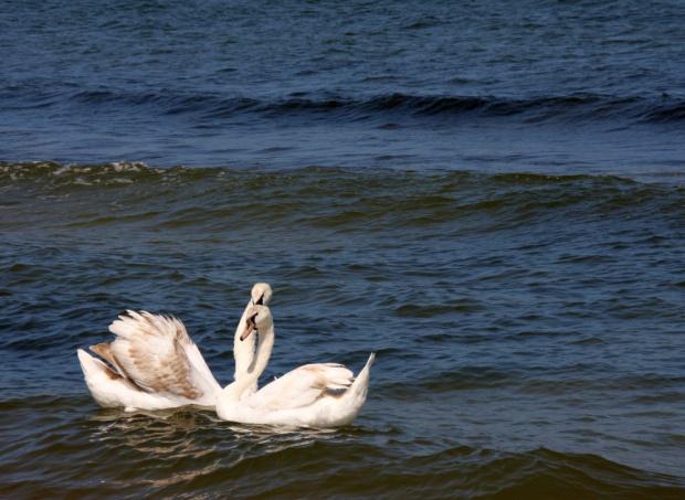 ła-bądź-ki:) #łabędzie #ptaki #zwierzęta