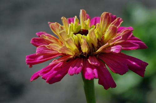 #kwiaty #astry