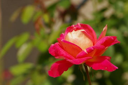 #kwiaty #róża