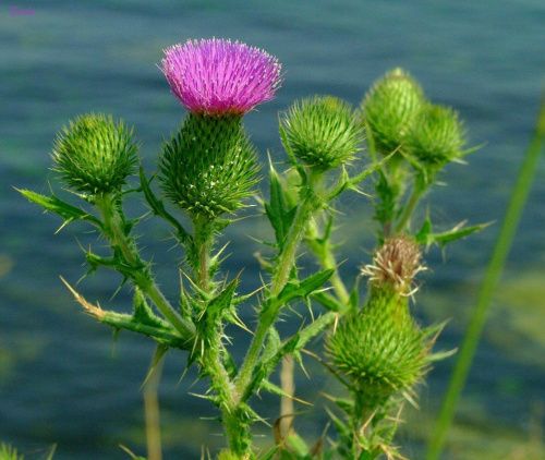 Roślinki z nad Morza Czarnego :) Ale rosną też u nas :) #Rośliny