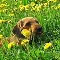Dziś odszedł mój najwierniejszy przyjaciel, BARI. Był ze mną zawsze przez 12,5 roku. #Bari #jamnik #pies #przyjaciel #smutek