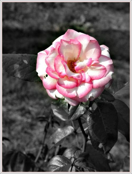 Piękna róża z ogródka sąsiadki.