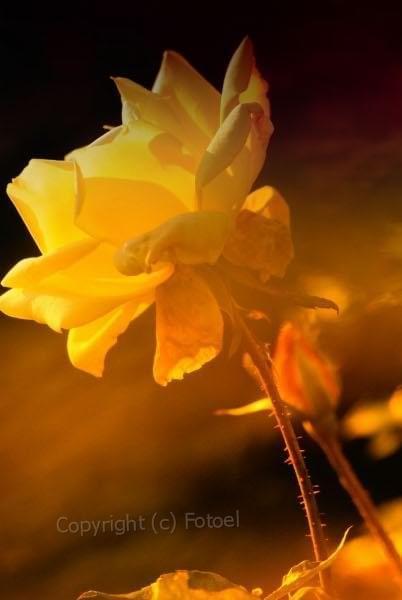 Róża to piękny kwiat... #KwiatyPolskie #róża #fotoel